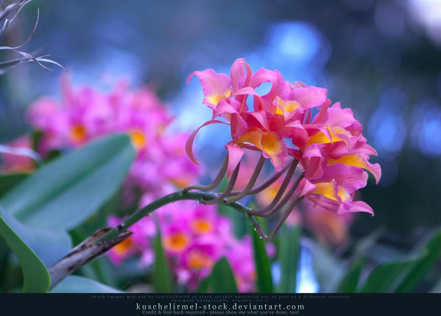 Orchids 08 by kuschelirmel-stock