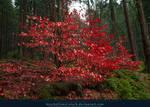 Red Leaves by kuschelirmel-stock