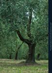 Olive Grove 01