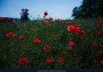 Poppy Field 01