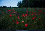 Poppy Field 04