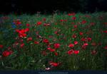 Poppy Field 05