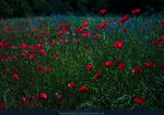 Poppy Field 06