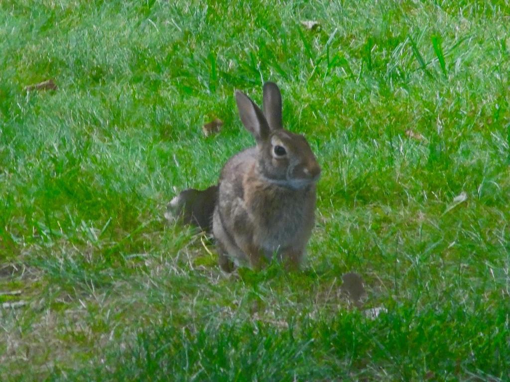 Rabbit by TheWizardofOzzy