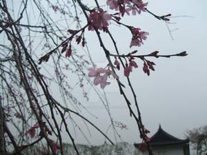 First Sakura