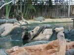 Nile crocodile 4