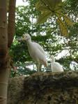 Cattle egret 2