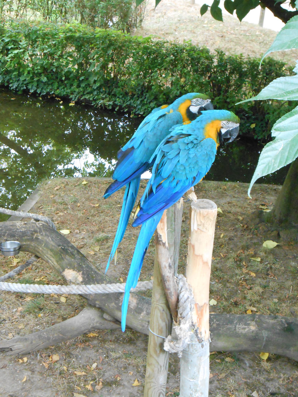 Blue and gold macaws stock