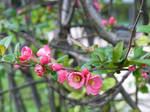 Blossom stock (Japanese quince)