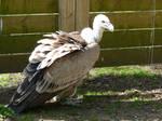 Griffon vulture stock 4