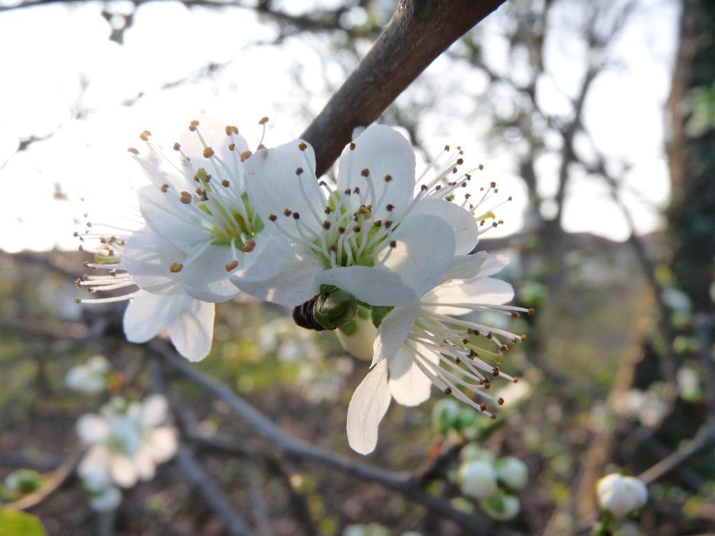 white Flowers Closeup by kustardkookie