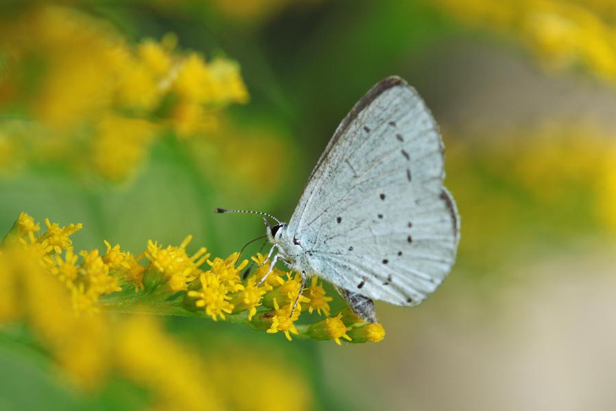 Holly Blue by Niverdia
