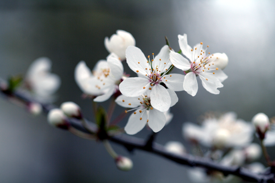 Sweet Spring by Niverdia