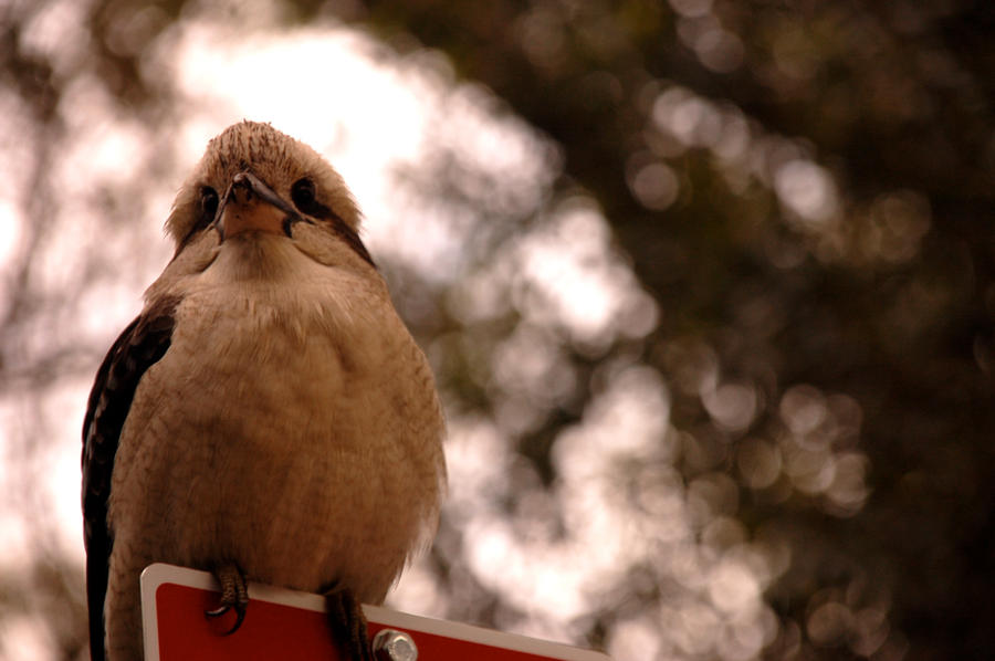 Kookaburra by hextakeshold