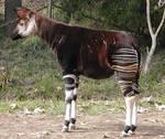 Okapi?