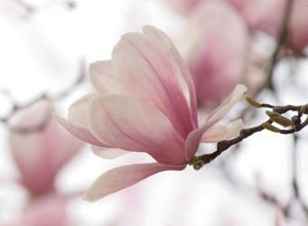 Magnolia Dream by angelGIo