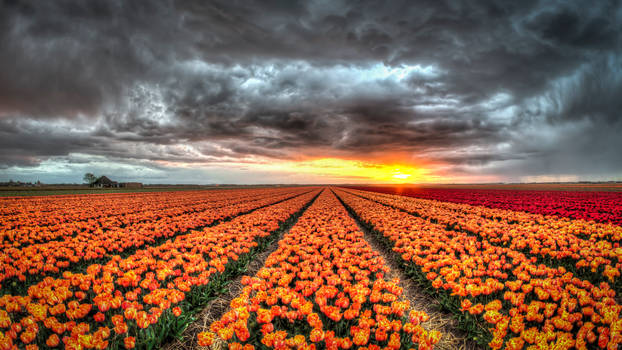 Rainy sunset over the tulip fields