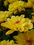 Yellow Crysanthemums