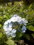 Plumbago shrub