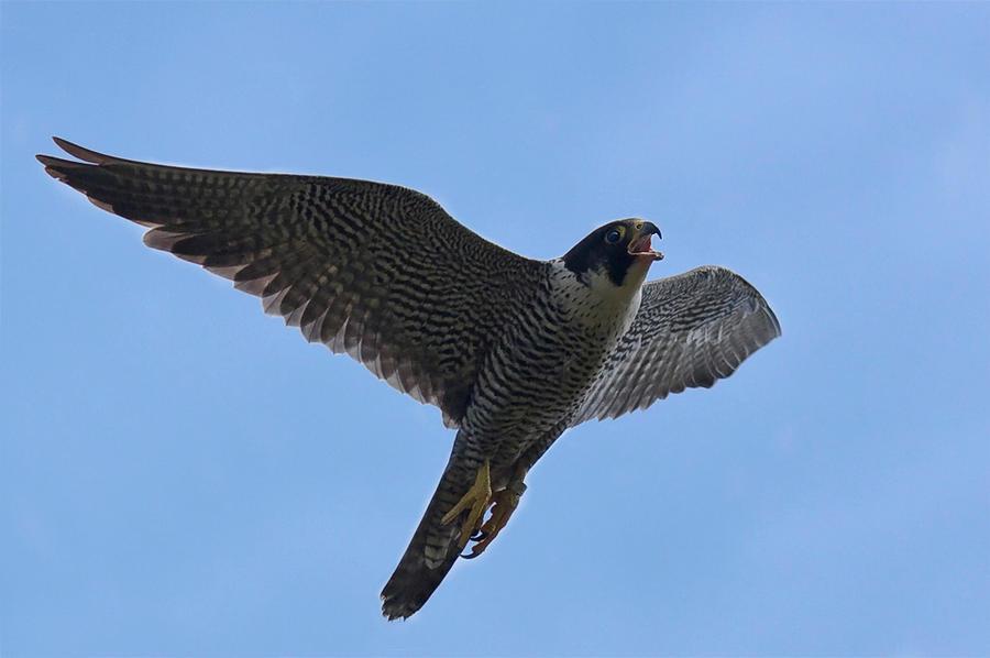 Peregrine falcon by Orzel