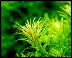 Blooming Najenshan by StevenChong-no-GMF