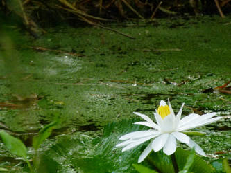 Water Lily by ecfield