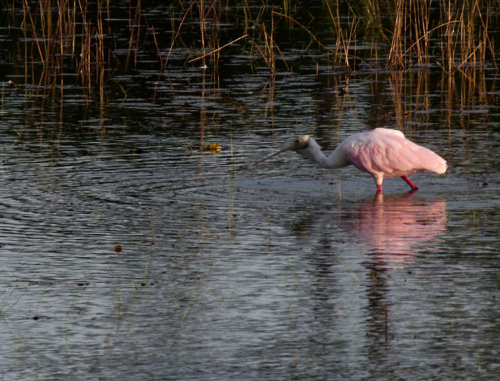 Rosate Spoonbill by ecfield