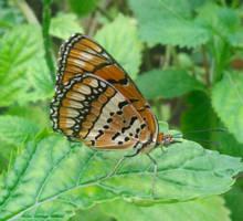 Butterfly by VampireWarrior0303