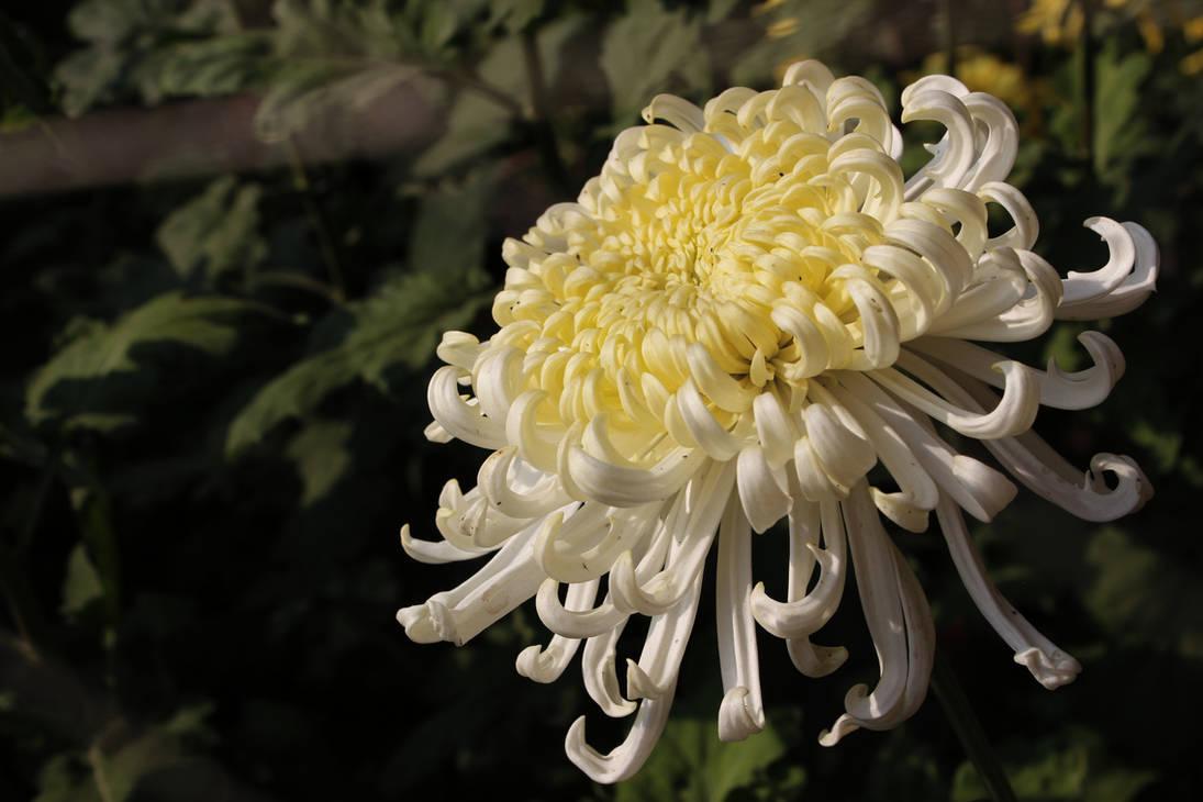 Chrysanthemum by VampireWarrior0303