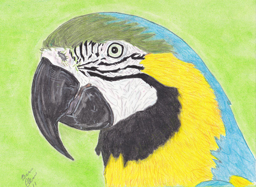 Blue Macaw Drawing Blue and Gold Macaw by