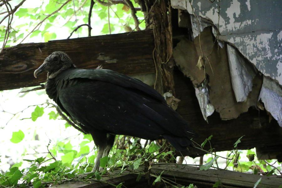 Vulture Among Ruin