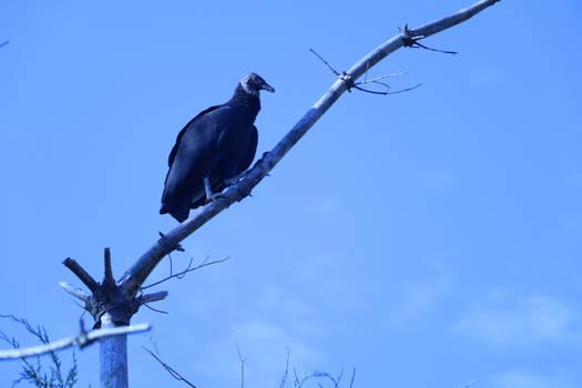 Vulture Among Blue