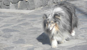 Cute sheltie by Sefja