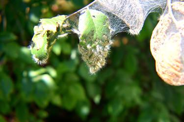 Caterpillars 001