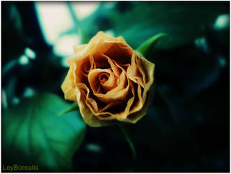 each petal is a secret by LeyBorealis
