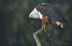 African Fish Eagle by robynansellart