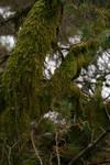 Mossy tree 1