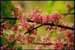 euodia flowers