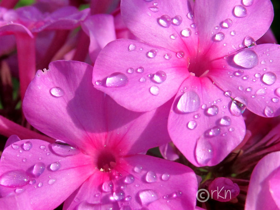 Good morning flower moham