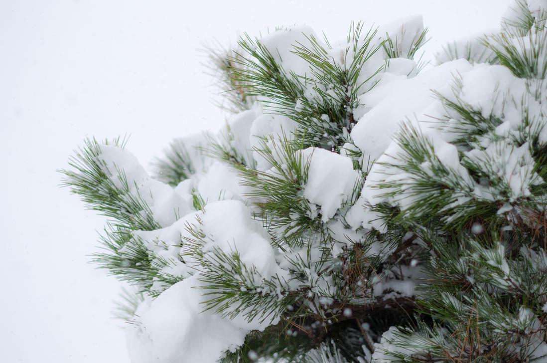 Snowed Pines by taeliac