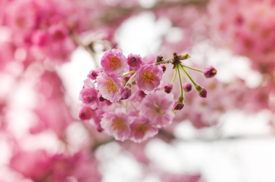 Pink Petals by taeliac
