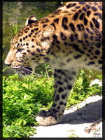 Panther 2 by NirkaPics