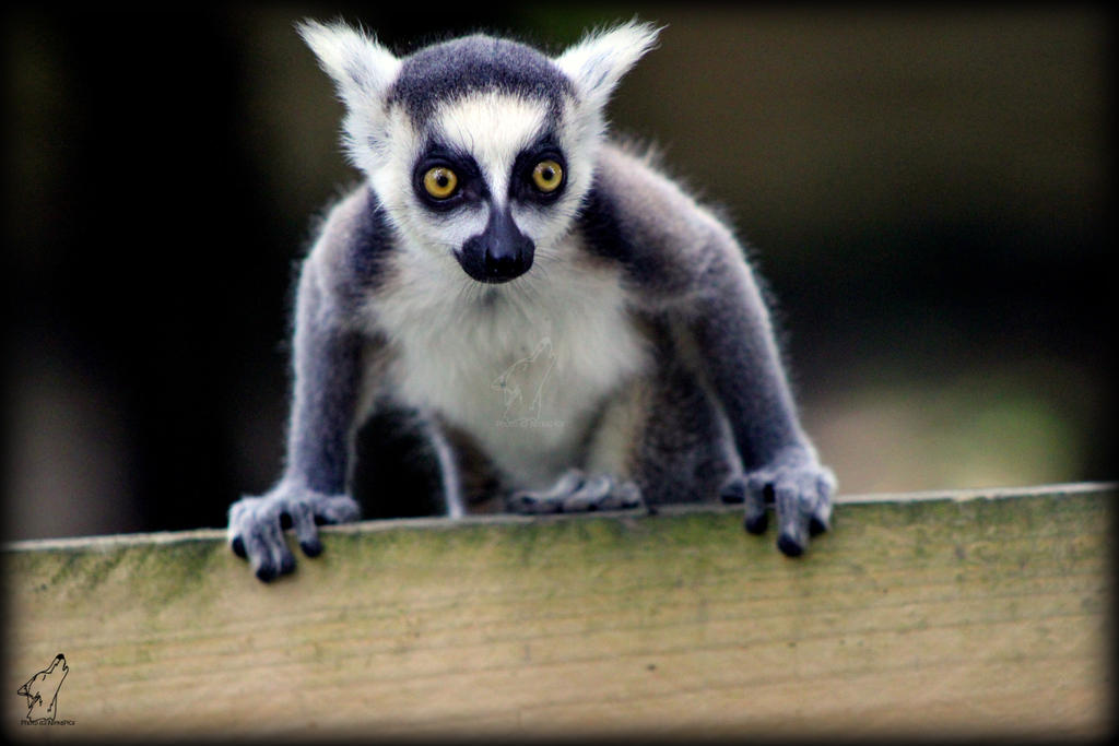 Lemur baby by NirkaPics