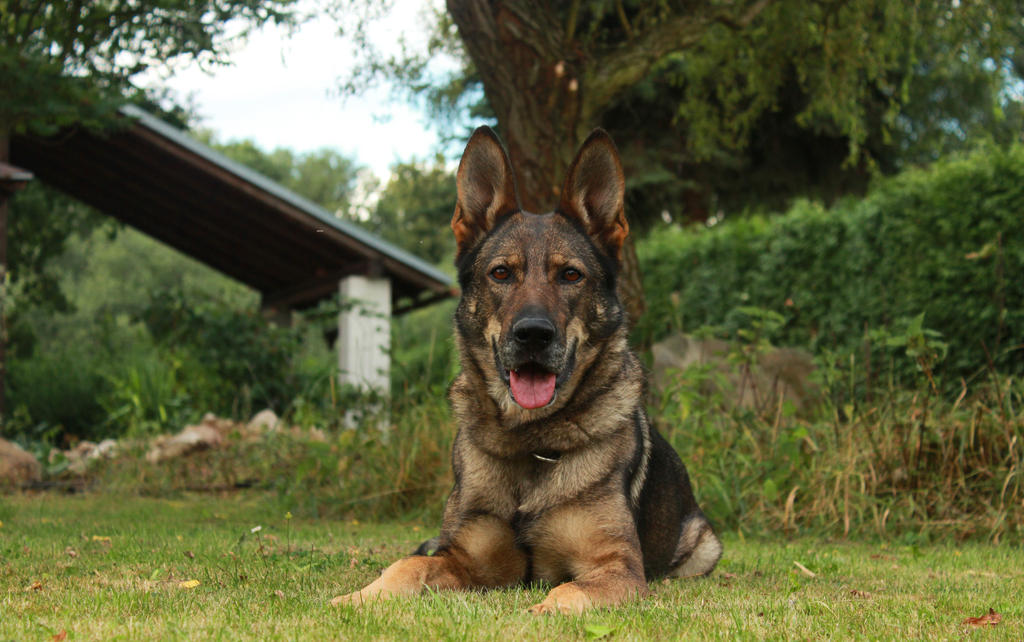 German shepherd by rattino