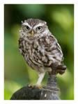 Little Owl by Neutron2K