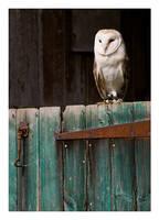 Barn Owl by Neutron2K
