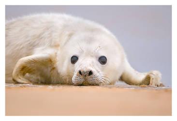 Portrait of a Seal Pup by Neutron2K
