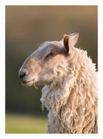 Unimpressed Sheep by Neutron2K