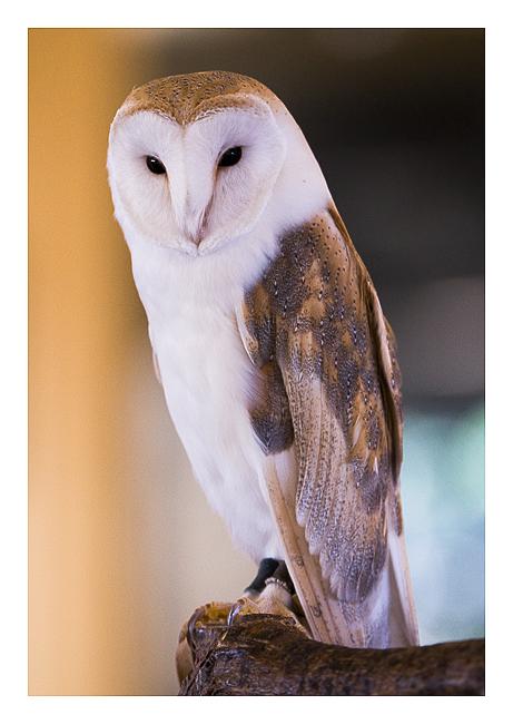 Graceful Barn Owl by Neutron2K