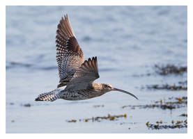 Curlew by Neutron2K